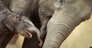 asiatikos_elefantas