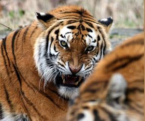 Όταν οι τίγρεις όρμηξαν στην κάμερα