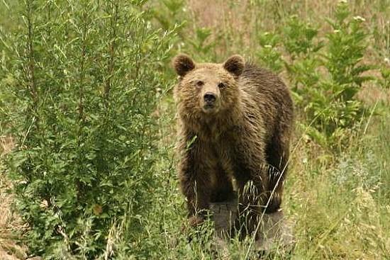 Συνεχίζεται το ξεκλήρισμα των αρκούδων της Πίνδου