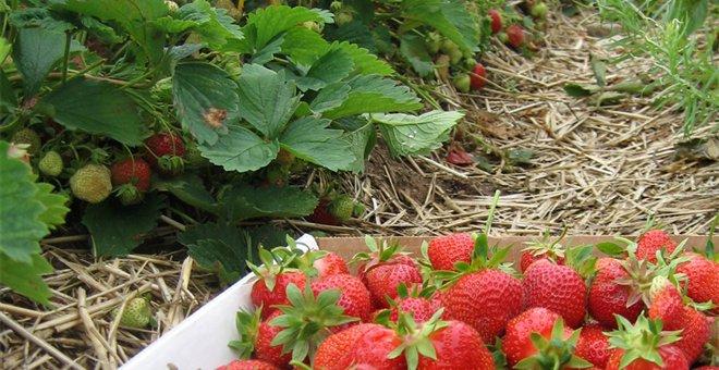 Η Μανωλάδα πληρώνει τις... αιματοβαμμένες φράουλες
