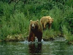 Σκότωναν αρκούδες γιατί πίστευαν ότι η χολή τους θεραπεύει τον καρκίνο