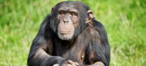 Προσφυγή στα δικαστήρια για τα δικαιώματα των χιμπατζήδων
