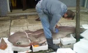 Ψάρεψαν γαλέο 90 κιλών!