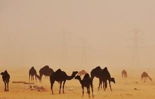 A sand storm envelops camels in the desert region of al-Hasa, Saudi Arabia
