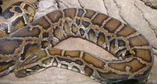 pythonas