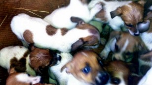 Fifty puppies found in cars