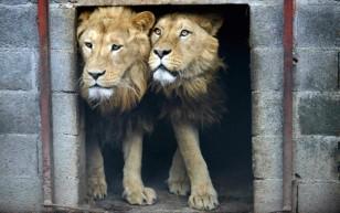 lion1.medium