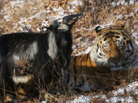 goat-and-tiger-e1448889027590