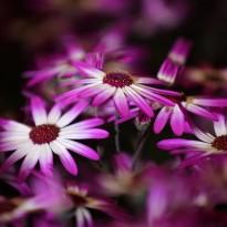 Harrogate Spring Flower Show 2017