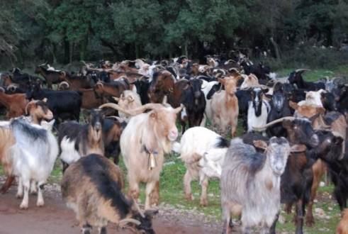 Κρούσματα καταροϊκού πυρετού σε αιγοπρόβατα στη Σάμο