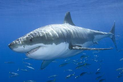 Οι καρχαρίες κρύβονται από τον ήλιο και την πανσέληνο