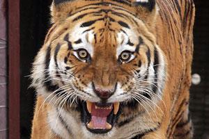Νεκρή από επίθεση τίγρη υπάλληλος ζωολογικού κήπου