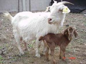 Ο Σόιμπλε και οι ...κατσίκες στη Λάρισα