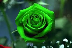 Τριαντάφυλλο(ς) στον δρόμο που χάραξε η Μπακογιάννη