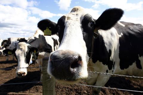 Από την Ολλανδία έφτασαν στη Φθιώτιδα οι «τρελές αγελάδες»